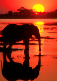 African Elephant at Mouth of Savuti Channel at sunset