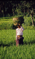 Carrying a basket of rice plantings, Bali