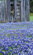 Bluebonnets and weathered barn, Texas Hill Country