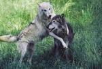 Alaska Tundrawolf (canis lupus arctos tundrorum)
