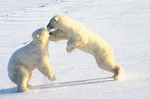 Play-fighting polar bears, Churchill, Manitoba, Canada