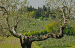 Olive tree and views of the Tuscan countryside near Montagnana