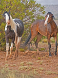 Disagreement and an impending fight between two wild horses in New Mexico