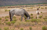 New Mexico wild horses - a foal with its gray mother