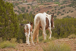 New Mexico wild horses -a mare and foal 
