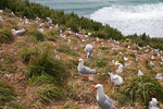 Red-billed Gulls, Taiaroa Head Royal Albatross Colony, New Zealand