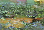TWO GREEN FROGS IN POND