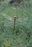 DRAGONFLY IN DEW COVERED SPIDER WEB
