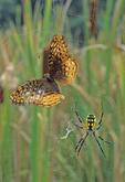 GARDEN SPIDER WITH BUTTERFLY PREY