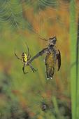 GARDEN SPIDER WITH HUMMINGBIRD PREY