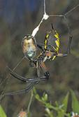 GARDEN SPIDER WITH JAPANESE BEETLE PREY