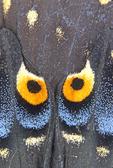 EASTERN BLACK SWALLOWTAIL BUTTERFLY WING FACIAL PATTERN