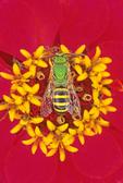 VIRESCENT GREEN METALLIC BEE ON ZINNIA FLOWER