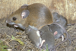 WHITE FOOTED MOUSE NURSING BABIES