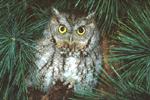 EASTERN SCREECH OWL IN WHITE PINE TREE