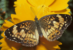 SILVERY CRESCENTSPOT BUTTERFLY ON COREOPSIS FLOWER