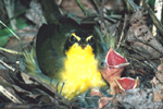 KENTUCKY WARBLER ON NEST WITH BABIES