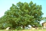 800+ YEAR OLD WHITE OAK TREE