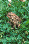 AMERICAN TOAD IN LAWN