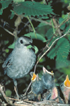 CATBIRD AT NEST WITH YOUNG
