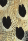 COMMON FLICKER BREAST FEATHERS