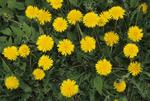 COMMON DANDELION FLOWERS