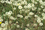 COMMON DANDELION SEED HEADS