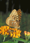 GREAT SPANGLED FRITILLARY BUTTERFLY AND HONEY BEE ON BUTTERFLY MILKWEED FLOWERS