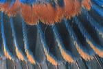 BLUE GROSBEAK WING FEATHERS