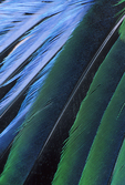 MALE LONG-TAILED BROADBILL WING FEATHERS