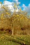 OSAGEORANGE TREE