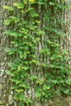 POISON IVY VINES