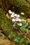 SHARP-LEAVED HEPATICA FLOWERS AND LEAVES