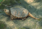 SNAPPING TURTLE PORTRAIT