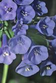 VIRGINIA BLUEBELLS WILDFLOWERS