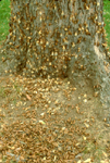 17 YEAR PERIODICAL CICADAS EMERGING FROM GROUND