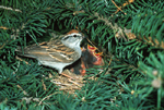 CHIPPING SPARROW AT NEST WITH BABIES