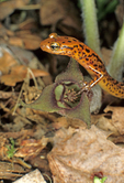 LONG-TAILED SALAMANDER AND WILD GINGER FLOWER