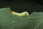 GREEN-STRIPED MAPLEWORM EATING MAPLE LEAF