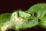 MEADOW SPITTLEBUG ADULT WITH SHEDDED NYMPH SKIN