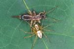 GHOST LYNX SPIDER WITH EARWIG PREY