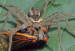 NURSERY WEB SPIDER WITH 17 YEAR PERIODICAL CICADA PREY