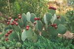 PRICKLY-PEAR CACTUS WITH EDIBLE FRUIT