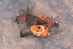 RED ANTS WITH DEAD LADYBUG