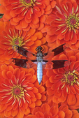 WHITE TAIL DRAGONFLY ON ZINNIA FLOWERS