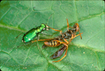 SIX-SPOTTED GREEN TIGER BEETLE ATTACKING WASP