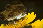 SILVERY CRESCENTSPOT BUTTERFLY FEEDING ON COREOPSIS FLOWER