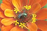 JAPANESE BEETLE ON ZINNIA FLOWER