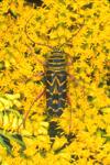 LONG-HORN LOCUST BORER BEETLE ON GOLDENROD FLOWERS