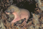 FLYING SQUIRREL BABY SHOWING GLIDING SKIN FLAPS